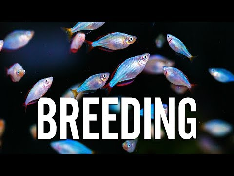 How To Breed Aquarium Fish With A Master Breeder