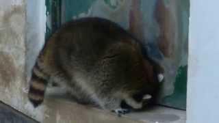 山梨市万力公園のアライグマ ぷうた  fat raccoon