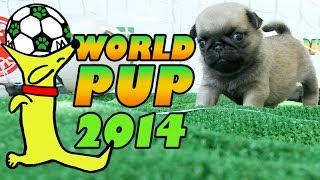World Pup - Pug Puppies Vs. Bichon Frise