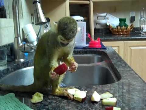 pet-squirrel-monkey-drying-herself