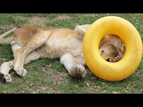 A Lion And His New Toy