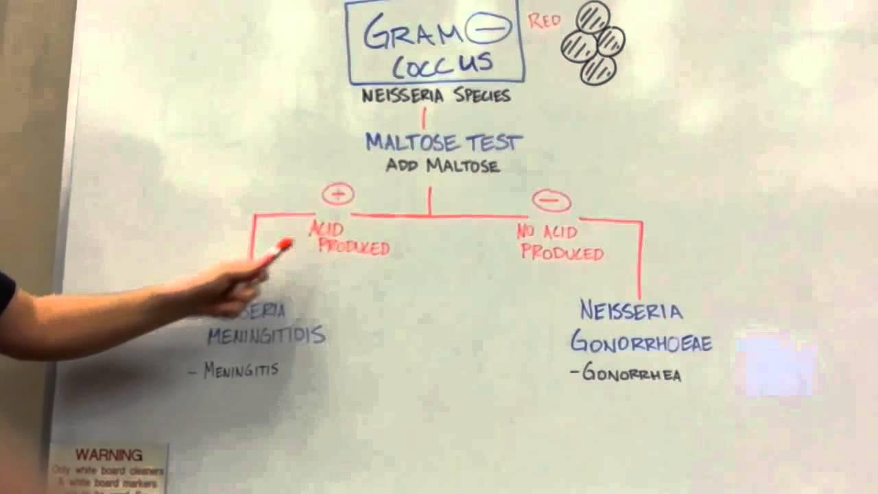 How To Distinguish Gram Negative Cocci Youtube