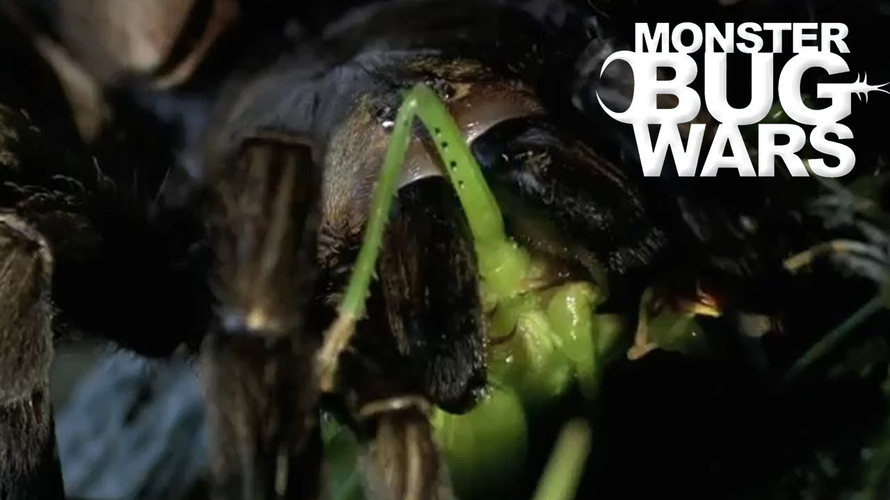 When Katydids Get Absolutely Mulched | MONSTER BUG WARS