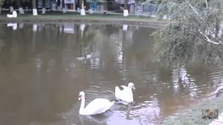 Лебедь священная птица Славян