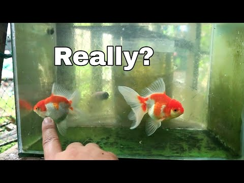 How To Make Your Goldfish Grow Faster Using A Cheap Fishfood