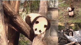 2021-02-24 Xiao Qi Ji's Adventure Continues! Top of the Teepee, High in the Hammock!