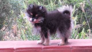 Araucarias Pomeranians, Black And Tan Puppy