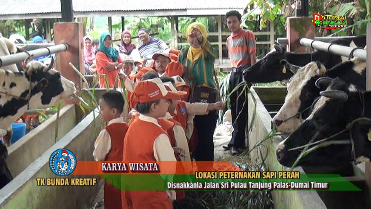 Cuplikan Siaran Karya Wisata Tk Bunda Kreatif Dumai Di Peternakan Sapi Perah Jalan Sri Pulau Dumai