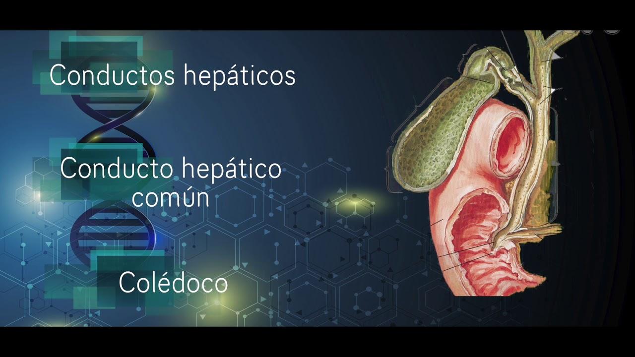 Anatomía y fisiología vesícula biliar - YouTube