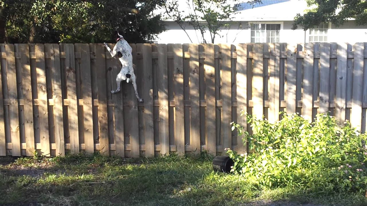 How To Keep Dog From Jumping Fence German Shorthaired Pointer Showing Her Fence Jumping