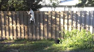 German Shorthaired Pointer Showing Her Fence Jumping Skills