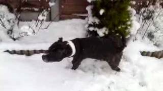 My Staffordshire Bull Terrier Brindle Playing In The Snow