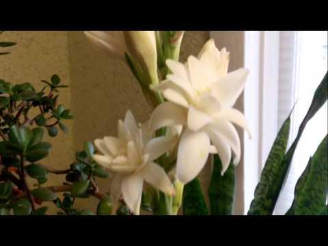 Тубероза(полиантес клубненосный)как комнатное растение
