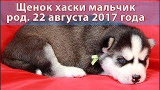 Чёрно-белый щенок хаски мальчик родился 22 августа 2017 года
