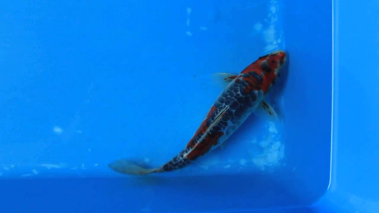 9 doitsu goshiki koi carp fish for sale love aquatics for Goshiki koi fish for sale