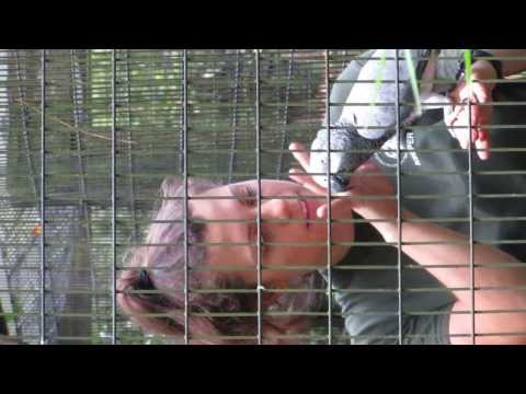 African grey training step up 2