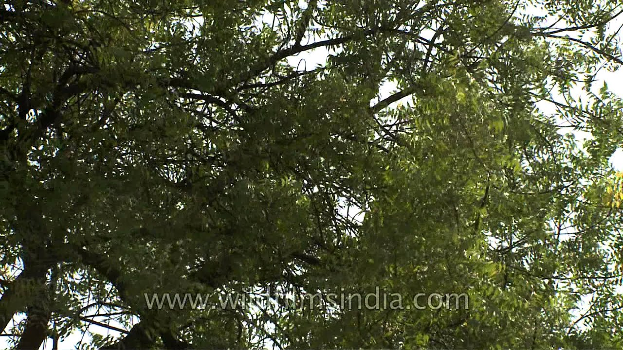 the neem tree explanation The products created from the neem tree are so much more important the neem tree is a global problem solver soil feeding schedule explanation video.