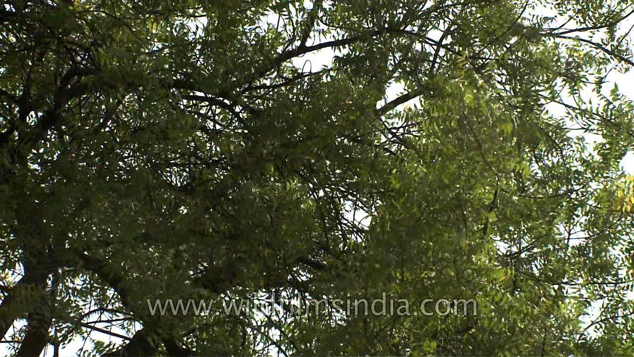 a majestic neem tree