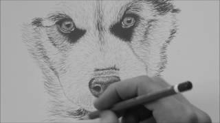 How To Draw A Husky Step by Step For Beginners