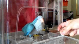 藍和尚鸚鵡