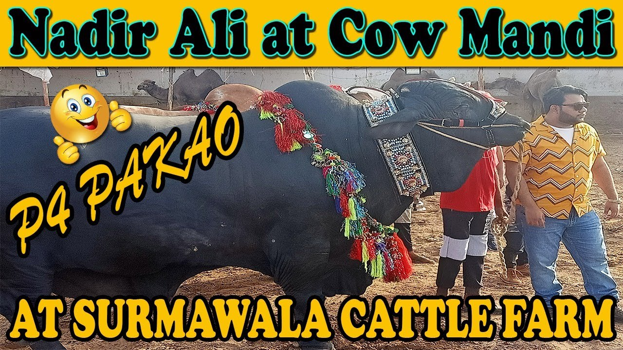 NADIR ALI AT SURMAWALA CATTLE FARM 2020 | P4 PAKAO TEAM IN ACTION | COW MANDI FUNNY VIDEO SHOOTING