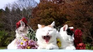 のせ猫 x 菊の花  Chrysanthemum 171117