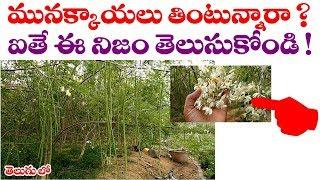 మునక్కాయలు తింటున్నారా ? ఐతే ఈ నిజం తెలుసుకోండి  || Real facts of Moringa