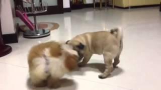 Pugshiht (pug And Shihtzu):-)