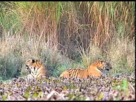 Indian tiger pair (Panthera tigris) at Kaziranga National Park