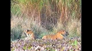 Indian tiger pair (Panthera tigris) at Kaziranga National Park