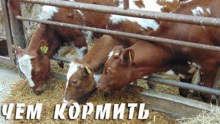 Чем кормить корову? Классификация кормов