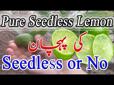 How To Grow And Pure Seedless Lemon | Identify/Judgement |