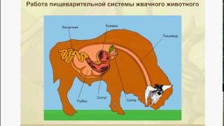 Работа желудка жвачных животных. Это нужно знать для ЕГЭ