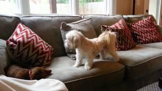 Dachshund Puppy Vs Lhasa Apso