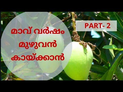 മാവ് പൂക്കാൻ PART-2.Amala agri.info