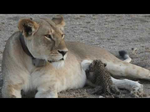 News Update 'Truly unique' mother lioness nurses leopard cub in Tanzania 14/07/17