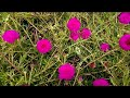 454 -How to increase flowering in Purslane/Portulaca Grandiflora/Moss Rose plants (Hindi /Urdu)19/7/
