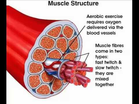 Three types of muscle fibers youtube three types of muscle fibers ccuart Image collections