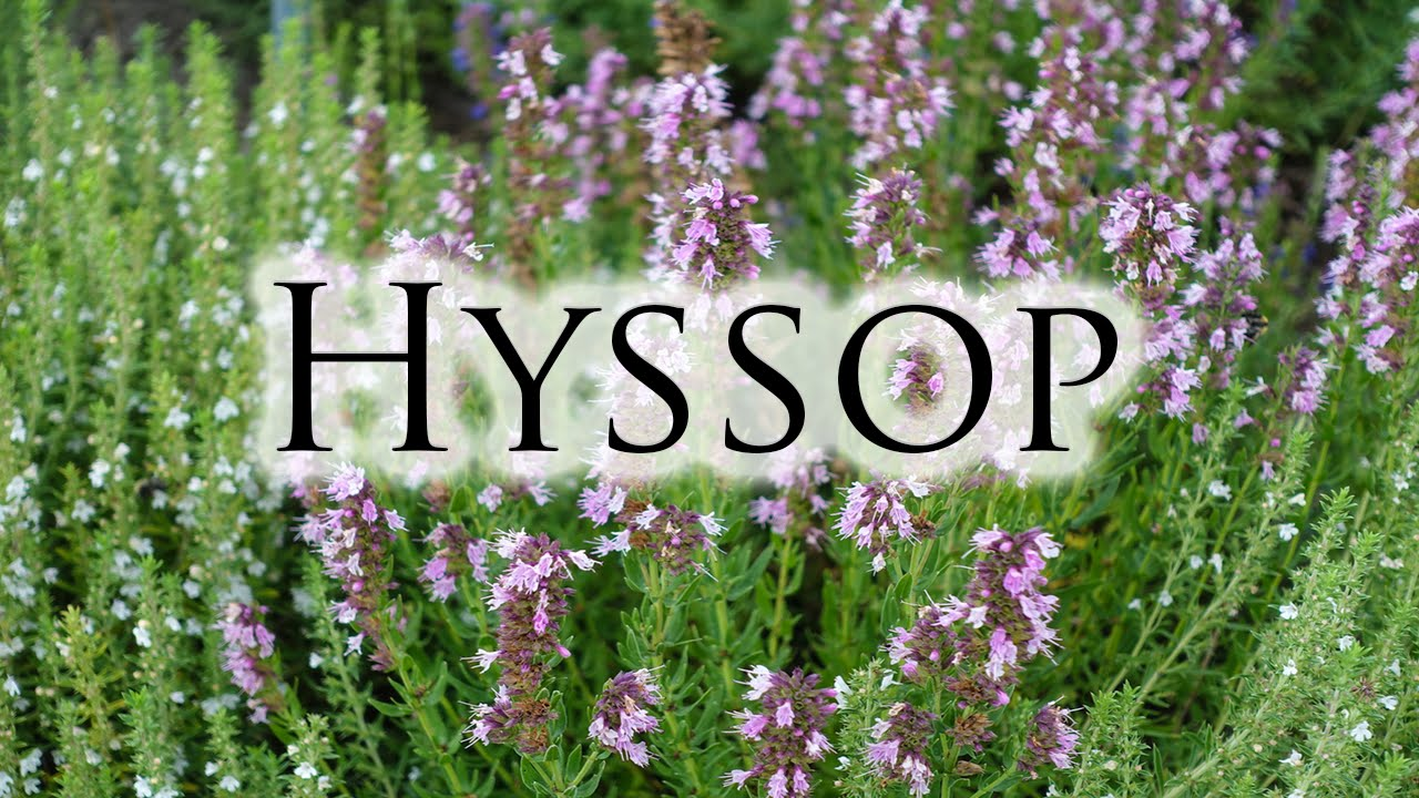 Herbs, Roots & Resins - Hyssop