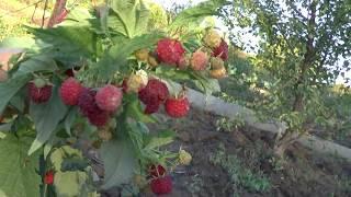 видео Малина Гигант рубиновый