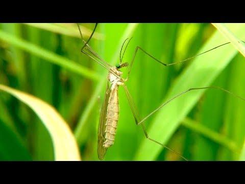 Огромный комар, ужас нашего детства