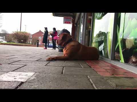 Dogue de Bordeaux Obedience Training | Off-Leash K9 Training London