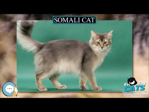 Somali cat 🐱🦁🐯 EVERYTHING CATS 🐯🦁🐱