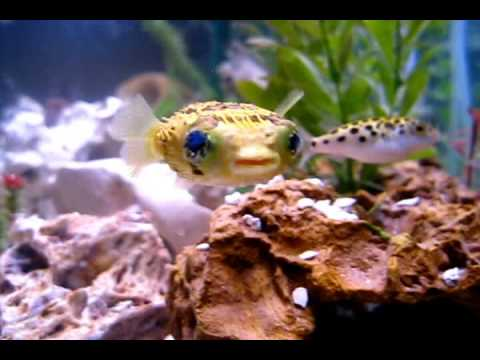 Porcupine Puffer Learning To Hunt Shrimp