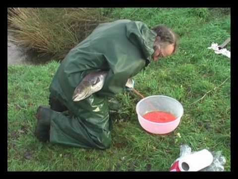 River Carron Restoration - Salmon Egg Stripping