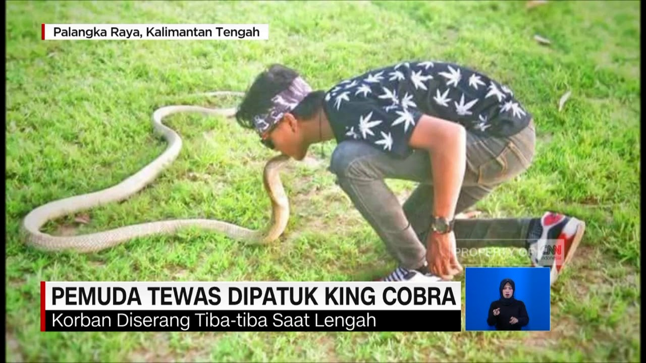 Download Tragis! Pemuda Tewas Dipatuk King Cobra Peliharaan Sendiri