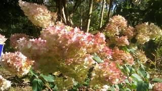 Hydrangea paniculata 'Vanille Fraise' video