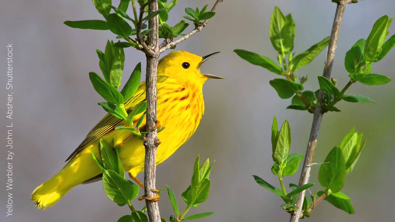 Yellow Warbler Song - YouTube