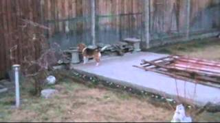 Beagle - Laika  Jogging