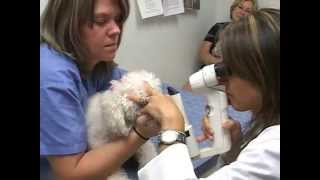 Dog Cataract Surgery | MedVet | What to Expect | Veterinary Ophthalmology